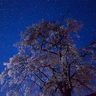 水曜どうでしょうロケ地「上発知のしだれ桜」を観てきた  |  OSCALOG